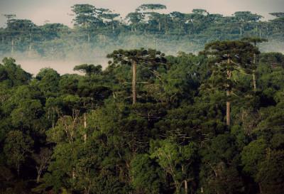 floresta_com_araucaria_-_turvo_-_pr_-_zig_koch_copy