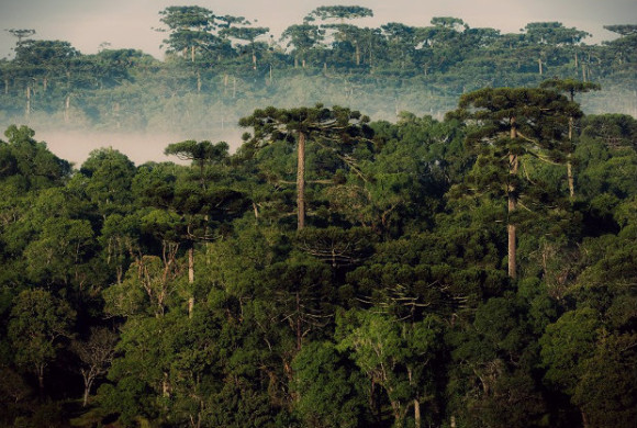 Fundação Grupo Boticário apoia o uso de Drones para conservação de araucárias